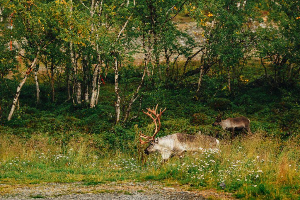 олень с с большими рогами в лесу