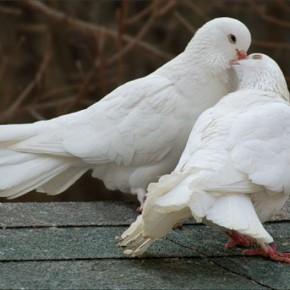 Свадебные голуби в деревне